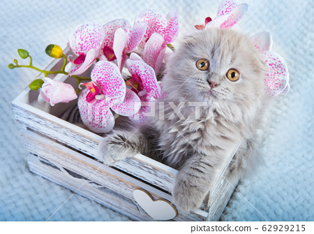 Scottish fold kitten gray cat with orchids flowers 62929215