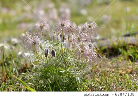 기 누가와 강변 꽃 피는 할미꽃 62947139