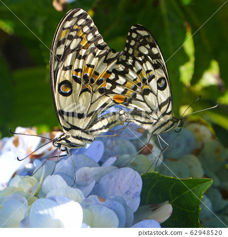 Butterfly couple  62948520