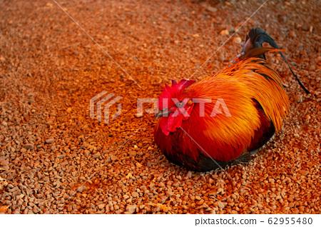 Chicken 62955480