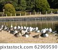 来到池塘的冬天迁移海胆鸥和长发鸭子在Inage海滩停放 62969590
