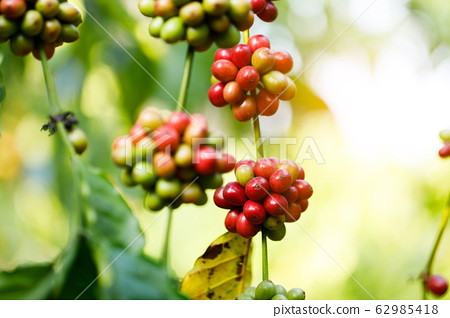 Coffee beans ripening on tree in North of thailand 62985418