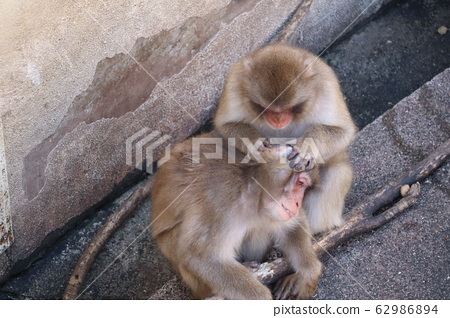 Japanese macaque cleaning ears 62986894