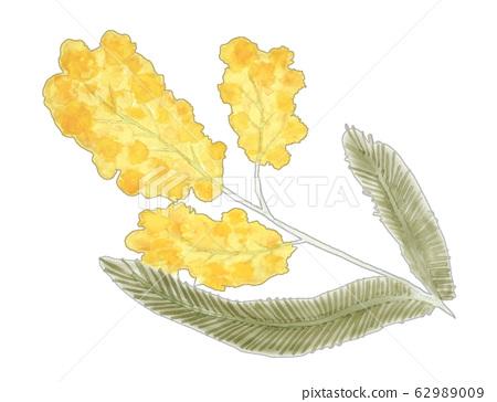 Mimosa 62989009