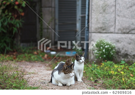 貓科 62989816
