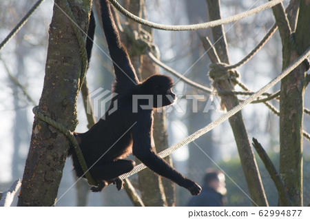 Spider monkey on the rope 62994877