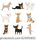 Chihuahua dogs in poses. Different varieties of 62995802
