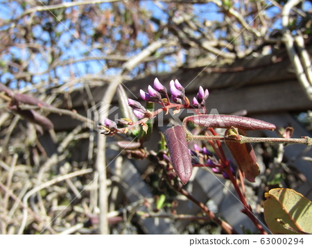 This purple bud is a climbing plant, Hardenbergia bud 63000294