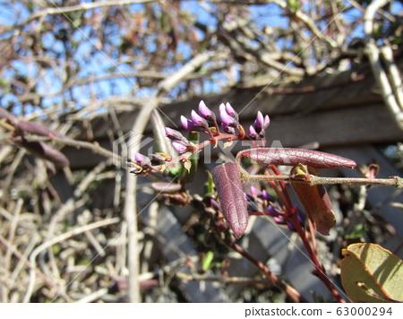 이 보라색 꽃 봉오리는 덩굴 성 식물하든 벨 기어의 뇌 63000294