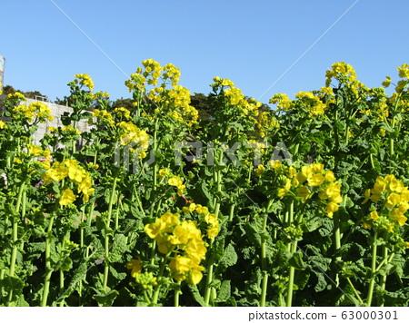 이월은 활짝 피는 빨리 피는 나바나 노란 꽃 63000301