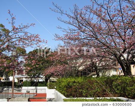Inage Kaigan站前的Kawazu樱花即将开花 63000680
