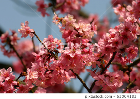 Close up shot of the beautiful cherry blossom 63004183