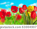 Red Tulips on the Meadow in the Springtime. 63004907