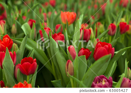 Red tulips field beautiful spring background. 63005427