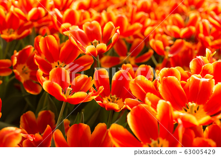Red and yellow tulips fild. Spring background. 63005429