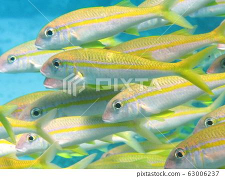 Underwater world - Shoal of yellow and white goatfish 63006237