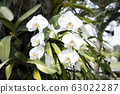 Orchid flower in tropical garden. 63022287