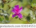 福都公園,端花,蜜蜂,台灣,台中,大渡,粉紅色,花 63034553