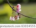福藤公園,山櫻花,水果,台灣,台中,大渡,淺粉紅色,花朵 63034555