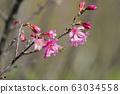 福藤公園,山櫻花,蜜蜂,台灣,台中,戴都,淡粉色,花開,花B 63034558