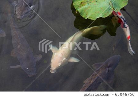 錦鯉湖池塘 63046756
