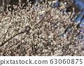 Plum blossom 63060875