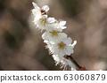 Plum blossom 63060879