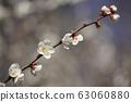 Plum blossom 63060880