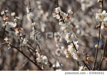 Plum blossom 63060882