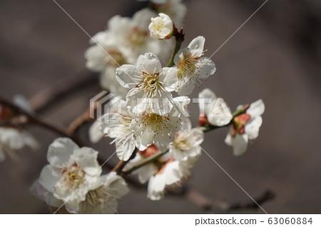 Plum blossom 63060884