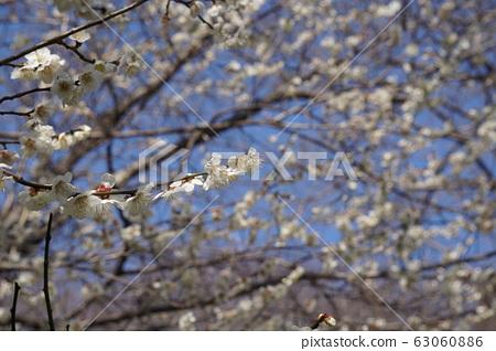 Plum blossom 63060886