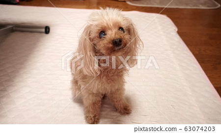 """""""Kana is a bit hard to see at a glance"""" Toy poodle female 14-year-old senior dog Shiratane-chan 04 63074203"""