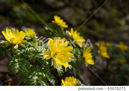 봄을 알리는 후쿠 쥬 소우의 근접 촬영 63078271