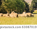 Looking sheep eating green glass 63087019