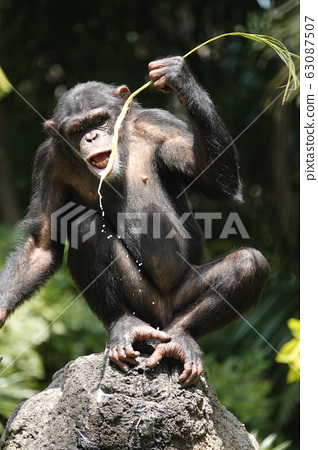 黑猩猩 63087507