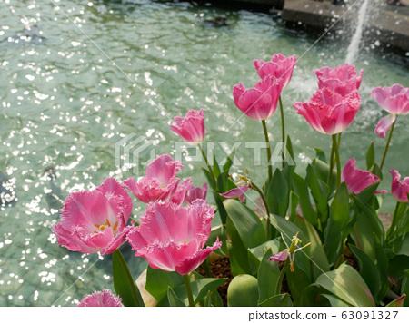 美麗的粉紅色鬱金香 63091327