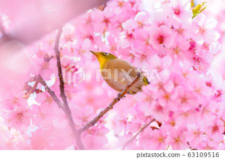 """Japanese image """"Sakura and White-eye"""" 63109516"""