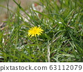 One dandelion perming blooming in the grass stock Photos-photolibrary 63112079