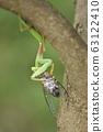 紅尾螳螂的捕食 63122410