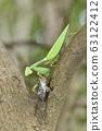 紅尾螳螂的捕食 63122412