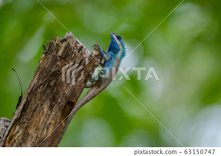 blue crested lizard in tropical forest, thailand 63150747