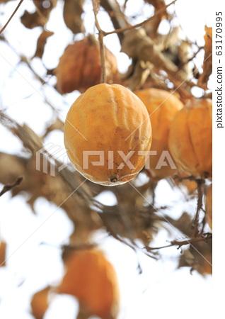 황 烏瓜 (하늘타리)의 열매 63170995