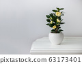 Flowering camellia in a white pot  63173401