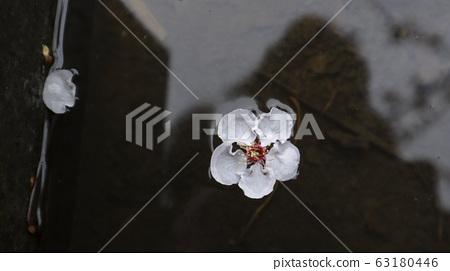 물위에 떨어진 분홍매화 꽃 63180446