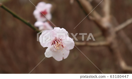 Pink plum blossom 63180447