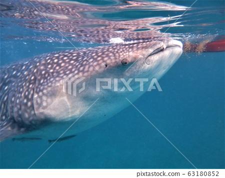 Swim with whale shark tour Bohol, Philippines 63180852