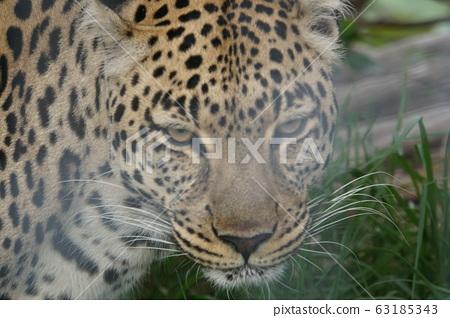 African leopard 63185343