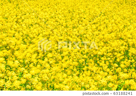 유채꽃,봄, 63188241