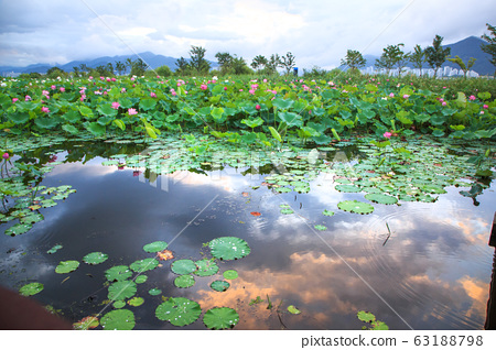 Lotus flower and reflection 63188798
