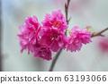 公司園區,山櫻花,粉紅色,台灣,台中,大渡,花蕊,花 63193066